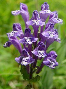 Scutellaria - Wikipedia, the free encyclopedia