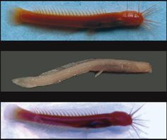 blind cave catfish - Google Search