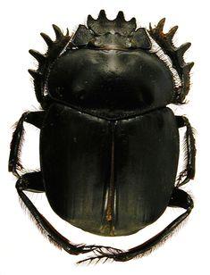 Google Image Result for http://entomologymanchester.files.wordpress.com/2010/06/sacred_scarab.jpg
