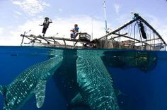 Whale Shark feeding under fishing platform West Papua Canvas Art - Steve JonesStocktrek Images x Beautiful moments camptured Swimming With Whale Sharks, Wild Animals Photography, Monster Fishing, West Papua, Ocean Creatures, Underwater Creatures, Shark Week, Shark Shark, Underwater Photography