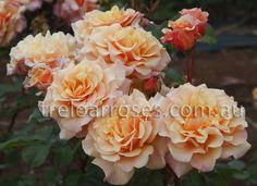 Treloar Roses - CARAMELLA