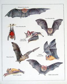 Poster of Bats of the Philippines Murcielago Animal, Bat Flying, Flora And Fauna, Philippines, Whale, Wildlife, Bats, Apple Pies, Illustration