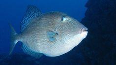 Grijze trekkervis - Grey triggerfish