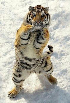 Boxing tiger