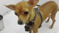Bear is an adoptable Chihuahua Dog in Logan, UT. This stuffed animal...or...I mean Bear is only cuddly, cute, and handsome boy! Bear is the A-typical tan chihuahua and could give the Taco Bell dog a r...