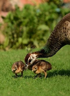 Grooming  Peahen and babies Photograph: prerna02/GuardianWitness