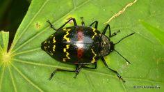 Zigzag fungus beetle, Erotylus sp. from Sumaco Volcano, Ecuador: www.flickr.com/andreaskay/sets/72157658179635954