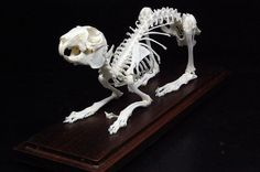 Real rabbit skeleton mounted in plastic show case for sale by ohhook at MoreThanHorror.com
