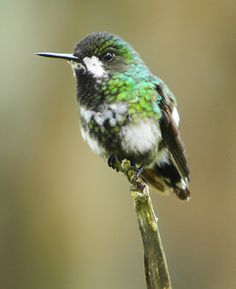 The Green Thorntail Hummingbird (Discosura conversii) is a small bird that has mainly green upperparts, a white rump band and a blackish lower rump and tail. It weighs just 3 g. The 10 cm long male has the long wire-like tail that gives this species its name and green underparts. The 7.5 cm long female lacks the long tail and has blackish underparts with a green breast band. She has conspicuous white moustaches Breeding males perch on open branches and may give a dive display. (female)