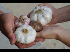 Garlic is so good for you and in so many recipes. Today we show you how to grow garlic in containers indoors so you have an endless supply always. Watch the video tutorial now.