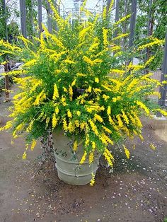 Front Yard Landscaping Discover Sweet Broom Just planted these in our back yard along the fence. I love them! Sweet broom - blooms late winter to early spring up to 6 feet tall full sun to light shade perennial Full Sun Container Plants, Container Gardening, Gardening Tips, Organic Gardening, Evergreen Container, Gardening Shoes, Gardening Vegetables, Potted Plants Full Sun, Herb Container