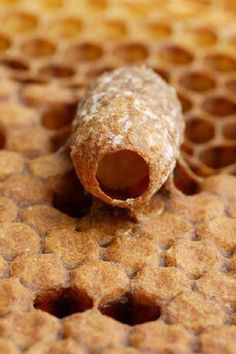 A perfectly symmetrical  royal cell hangs head  down from a comb.  This cell has not yet been  sealed by the bees  and one can see a  six day old larva  exclusively feeding  on royal jelly.