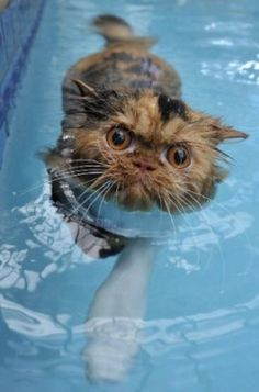 Swim cat  ❤ Upload your cat pictures at www.showmecats.com ❤  #showmecats #thehobbyist #FunnyCats