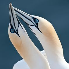 Northern Gannets.  by Gorazd Golob.