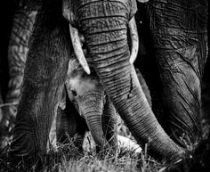 Africa's extraordinary wildlife, in black and white (Laurent Baheux)