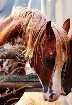 FV Aulfarwa; 1996 chestnut sabino Arabian stallion (Aulrab x FV Painted Lady)