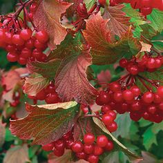 Viburnum, Bailey Compact (trilobum 'Bailey Compact') American Cranberry Bush. This low-key, trustworthy shrub is perfect for the back of the border, where its dense form will create a nice backdrop for showier summer plants. Come fall, however, it stands out with deep burgundy foliage and large, bright red berries. Birds don't like the fruit, so the berries often persist well into winter. 5-6' x 5-6'