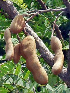 Tamarind, Asam jawa - Tamarindus indica