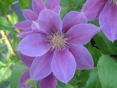 Clematis Varieties | Kinju Atarashi New For Chelsea 2012 large flowers