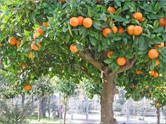 Google Image Result for http://www.featurepics.com/FI/Thumb300/20060912/Sour_Orange_Tree86904.jpg