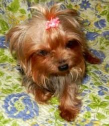 Mandy is an adoptable Yorkshire Terrier Yorkie Dog in Orange, CA. READ THE ENTIRE WRITE-UP; it has all the info on the dog, any requirements in their permanent home, the adoption donation amount, & ou...