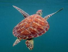 Sea+Turtle | Sea turtle swims off the coast of Mexico (Photo by Chan Chemuyil )