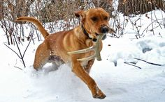One of the fastest growing dog sports is shed hunting. Tom Dokken introduced Lee and Tiffany to the sport and the Crush stars have found great shed success. (Courtesy PheasantsForever.org)