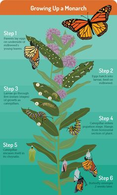 Gardening for Butterflies: Monarch Butterfly Lifecycle