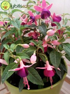 Fuchsia Care: Usually in purple, red, light pink colors. - Fuchsia Care: Usually opens in purple, red, light pink. Informations About Küpe Çiçeği Bakımı - Container Flowers, Container Plants, Container Gardening Vegetables, Planting Vegetables, Vegetable Gardening, Growing Vegetables, Types Of Houseplants, Gemüseanbau In Kübeln, Grass Stains