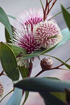Hakea laurina is a plant of Southwest Australia that is widely cultivated and admired. The species is often referred to as Kodjet, Pincushion Hakea, and Emu Bush.