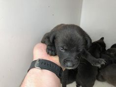 This DOG - ID#A502844 I am a female, black and white Setter/retrieve. The shelter staff think I am about 6 weeks old. I have been at the shelter since Feb 20, 2018. This information was refreshed 25 minutes ago and may not represent all of the animals at the Harris County Public Health and Environmental Services. Houston TX.