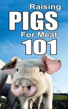 Raising pigs for meat 101