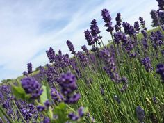 So you can cover your garden with lavender for just a few cents! - Ripost Source by jz Garden Planning, Permaculture, Diy And Crafts, Canning, Plants, Outdoor, Flowers Garden, Gardening, Lavender