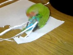Seemingly unhappy with her short-tailed hind quarters, a very clever lovebird uses her beak to craft long paper tail feathers that she tucks directly into Funny Animal Videos, Funny Animals, Cute Animals, All Birds, Love Birds, Gato Gif, Paper Feathers, Extreme Makeover, Funny Birds
