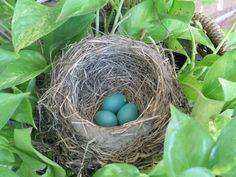 Robin's nest in a potted plant outside my mother's front door.
