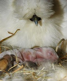 This White Silkie is doing what it does best, being a broody mother. As you can see, this chicken not only acts as mother to its own chicks, but to all types of babies including this baby rabbit!