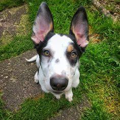 Bat ears 🦇 #Sunny #bordercolliepuppy #puppy #puppiesofinstagram #September #Summer #bigears #edit #Snapseed #iphotography #inspiration #ambereyes Snapseed, Ears, My Photos, Corgi, September, Summer, Animals, Inspiration, Biblical Inspiration