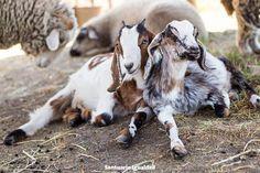 Antonia y Julieta son dos bebés que se hicieron amigas en el santuario. Desde ese momento comparten su vida y se acompañan todo el tiempo. Duermen juntas se protegen y se divierten jugando y corriendo por todas partes.  Las cabras son animales muy inteligentes cariñosos y sensibles que necesitan vivir junto a sus amigos y familia para ser felices
