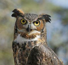 https://flic.kr/p/uF2EFc | Great Horned Owl  {Explored!  Thank you!} | Cedar Run Wildlife Refuge Great Horned Owl  (captive)