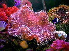 15 Easy Saltwater Aquarium Reef Corals: Pink Mushroom Leather (Cladiella) Corals