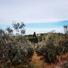 "#Uliveto alle ""Crociarelle"" di #SanVivaldo, #Toscana.  #Tuscany #Italy #countrylife #countryside #garden #vegetables #natura #nature #peace #sunset #orto #tramonto #olivo #olive #olivetree #albero  #olio #tree #igerstoscana #igersfirenze #igersitalia #Italia"