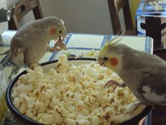 A Giant Popcorn Feast. fun, cheap and convenient snacks/food for your cockatiel/conure/African Grey. Funny Birds, Cute Birds, Pretty Birds, Beautiful Birds, Parrot Toys, Parrot Bird, Cockatiel Care, Cockatiel Toys, Budgies