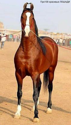 | OK.RU Most Beautiful Horses, Simply Beautiful, Kathiyawadi Horse, Different Horse Breeds, Marwari Horses, Paz Mental, Rubber Raincoats, Horse World, Horse Photography