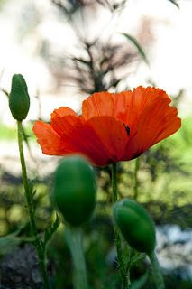 will always love birthday poppies in the backyard