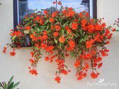 Zwisajaca Begonia Bulwiasta To Oszczedny Sposob Na Piekny Taras I Balkon Begonia Plants
