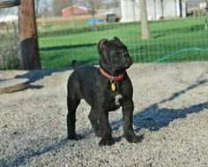 cane corso puppies for sale in ga Cane Corso Breeders, Cane Corso Puppies, Cane Corso Dog, Mastiff Puppies, Cute Baby Animals, Animals And Pets, Big Dogs, Cute Dogs, Pitbull