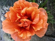Paupaver (poppy) orange flame