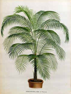 antique french botanical print coconut tree illustration digital download