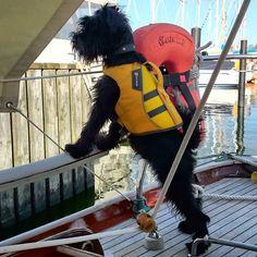 "Yachthund ""Pelle"" #minischnauzer #schnauzerlove #Schnauzer #zwergschnauzer #boatdog #sailboat #Sailing #segeln #summer #boatlife #waterproof #Ostsee #schleswigholstein #Kappeln by yvesloerke"
