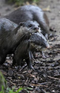"""Chester Zoo recently welcomed two tiny newborn baby Asian Small-clawed Otters, named """"Daley,"""" after U.K. Olympian diver Tom Daley, and """"Rebecca,"""" in honor of Olympic swimmer Rebecca Adlington!"""